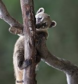 stock photo of coatimundi  - Close - JPG