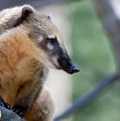 foto of coatimundi  - Close - JPG