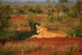 Lion In The Morning Sun Tsavo East National Park Kenya
