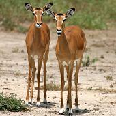Female Impala Tsavo National Park Kenya