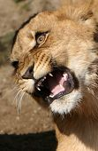 Angry Young Lion