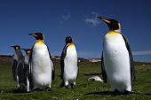 Three King Penguins at Volunteer Point on the Falkland Islands