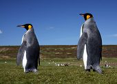 King Penguins at Volunteer Point on the Falkland Islands