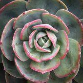 picture of century plant  - Succulent plant - JPG