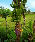 stock photo of banana tree  - Banana - JPG