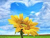 Постер, плакат: Солнечный Мощность подсолнечник на голубое сердце