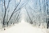 Winter alley running between the frozen trees