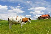 Casa nueva y vaca en campo verde
