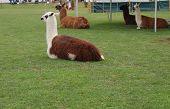 Four Lamas