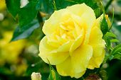 picture of yellow rose  - close - JPG