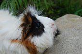 Snobby Guinea Pig