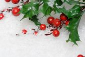 european holly in white snow