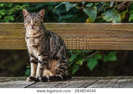 poster of Cat outside - house cat or street cat, feral cats outdoors.
