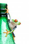 frog on a bottle - a red-eyed tree frog (Agalychnis callidryas) hanging on a wet green water bottle