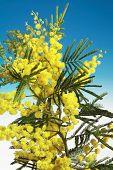 Mimosa Flowers On Blu Background