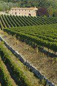 Lush ripe grapes on the vine 82