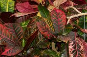 stock photo of crotons  - codiaeum croton plant waxy maroon leaves closeup - JPG
