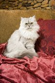Beautiful Persian cat white kitten with green eyes 04