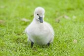 Fuzzy cute baby swan duckling chick