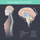 Cerebrospinal Fluid (csf) It Protects The Brain And Spinal Cord From Impact, Eliminates Waste From T poster