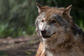 Close-up Portrait Of Elderly Gray Wolf  With Blurred Green Background. Aged Timber Or Western Wolf ( poster