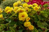 Bush Of Bright Yellow Flowers Surrounded By Greenery. Bright Botany Photography. Beauty Of Nature. poster