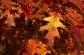 Scarlet Oak  Cropped Shot. Close Up Of Pin Oak. Red Leaves. Cropped Shot Of Autumn Tree. Autumn Natu poster