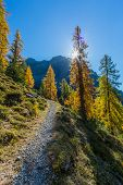 Natural Golden Spruce Forest In Autumn In Swiss Mountains, Sunbeams, Blue Sky poster