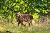 Red Deer Stags (cervus Elaphus) Danmark Europe poster