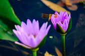 Beautiful Waterlily Or Lotus Flower In Pond. poster