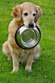 Golden retriever and shiny bowl on granule