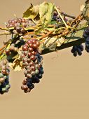 stock photo of healthy food  - Vine of grapes under the sun - JPG