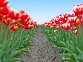 Big field red white tulips in Netherlands  - shallow focus