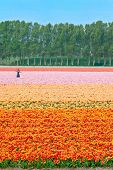 Big field color tulips in Netherlands