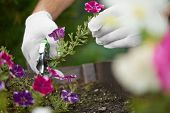 Close Up Of Male Worker Hands Cutting Flowers Off Using Pruner. Gardener Gathering Flowers In Garden poster