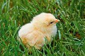 süße Ostern Küken im Gras