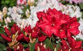 Rhododendron Hybrid Rabatz (rhododendron Hybrid), Flower Of Springtime poster