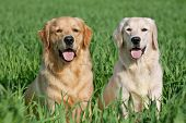 Close Up pair of purebred playful golden retriever dogs outdoors on green grass