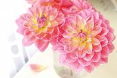 Garden dahlias in a glass jar vase by a lace covered window.