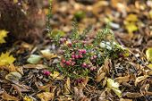 Bright Short Evergreen Shrub Of Cowberry, Vaccinium Among The Fallen Autumn Maple Foliage. Evergreen poster