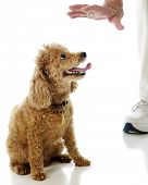 A toy apricot poodle looking at an elderly man's hand as she's ordered to stay.  On a white backgrou