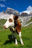 Pasto de la vaca en un verano en la montaña de Dolomiti