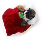 puppy bedtime - english bulldog puppy tucked into bed - 3 weeks old
