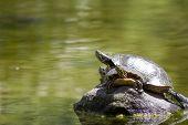 Turtles Sunbathing On A Rock
