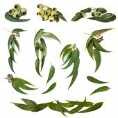 Collection of eucalyptus leaves and gum nuts, isolated on white.