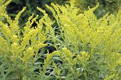 picture of goldenrod  - Canada goldenrod  - JPG