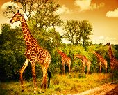 Image of a South African giraffes, big family graze in the wild forest, wildlife animals safari, Kru