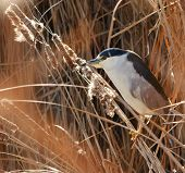 Black-crowned Night Heron (Nycticorax nycticorax) in closeup among the reeds, it's natural habitat