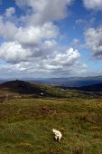 Mountain schapen 4