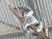 Koala Asleep Between Two Branches At Koala Park Near Wauchope, N.S.W.